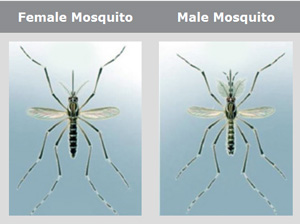 Difference between Male Mosquitoes and Female Mosquitoes